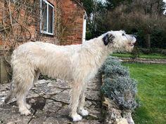 Scottish Deerhound, Irish Wolfhounds, Yellow Bellied Slider, Wire Haired Terrier, Psy, Belgian Shepherd, Good Buddy, Gentle Giant, Whippet