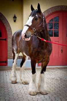 This is my Clydesdale mare Susan. I'd love to breed her with another Clydesdale or another heavy horse. All The Pretty Horses, Beautiful Horses, Animals Beautiful, Cute Animals, Big Horses, Horse Love, Black Horses, Clydesdale Horses, Breyer Horses
