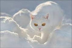 Afbeeldingsresultaat voor mooie witte katten