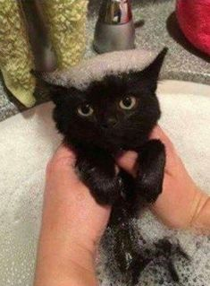 black cat with bubble hair.looks thrilled Cute Cats And Kittens, I Love Cats, Cool Cats, Kittens Cutest, Ragdoll Kittens, Bengal Cats, White Kittens, Cute Little Animals, Cute Funny Animals