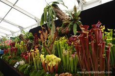 Hampshire Carnivorous Plants created a wonderful display of Sarracenia, Nepenthes, Heliamphora, and other carnivorous plants from around the world, for the RHS Hampton Court Palace Flower Show Hampton Court, Annual Flowers, Carnivorous Plants, Flower Show, Stems, Red Flowers, Hampshire, Palace, Around The Worlds
