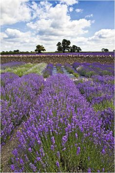 """""""Lavender"""", Somerset, England by Alan Coles Lavender Wreath, Lavender Green, Lavender Fields, Beautiful Islands, Beautiful World, Beautiful Places, Provence, Somerset England, Field Of Dreams"""