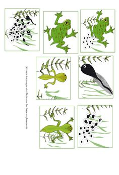 Imprimer visuels pour livre sur la grenouille Images to cut to create a memory game or the life cycle of amphibians Kindergarten Activities, Classroom Activities, Activities For Kids, Frog Life, Primary Science, Montessori Classroom, English Activities, Daycare Crafts, Nature Study