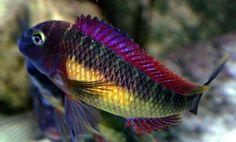 tropheus red rainbow
