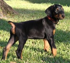 Dobie pup!! as soon as i have a place and a yard :) Hopefully by my birthday, just need a house instead of an apartment!