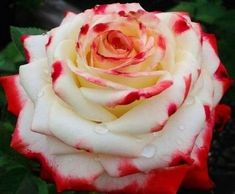 White rose that when drinks blood turns blood read