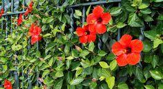 Cuidados del Hibiscus rosa-sinensis como planta de exterior - http://www.floresyplantas.net/hibiscus-rosa-sinensis/