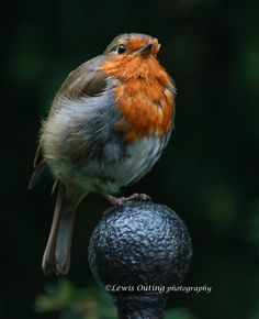 Robin by Lewis Outing on 500px