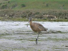 Curlew (maybe), Elkhorn Slough by ldjaffe, via Flickr