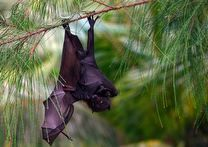 Marianas Flying Fox bat