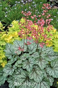 Monrovia's Peppermint Spice Coral Bells details and information. Learn more about Monrovia plants and best practices for best possible plant performance.