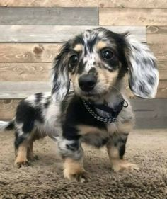 20 Dachshunds With The Most Beautiful Coat Patterns. - Dog Red LineYou can find Dachshund puppies and more on our Dachshunds With The Most Be. Dachshund Breed, Long Haired Dachshund, Dachshund Love, Daschund, Cute Baby Animals, Funny Animals, Funny Dogs, Animals Dog, Weenie Dogs