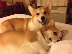 Great Corgi travelers Gingko and Makai playing in their hotel room.