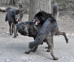 A pack. It's members play fight with each other, but when a member is threatened the fight is real...and the threat better be really big, because there is a reason wolves travel in packs.