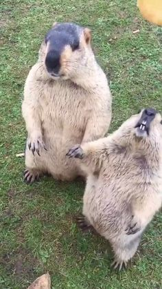 Funny Animals WHAT?___ I am ending this board with this because I stumbled across it and it made me laugh so much. They are like a pack of little children! Apparently the cameraman is. The post Funny Animals appeared first on Welcome! Funny Animal Jokes, Cute Funny Animals, Animal Memes, Cute Dogs, Adorable Baby Animals, Otters Funny, Cute Baby Sloths, Animal Mashups, Otters Cute