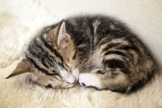 One of the reasons a kitten sleeps so much is because it releases a growth hormone during sleep.
