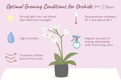 How to Grow and Maintain Beautiful Orchids Indoors - - These tips for growing orchids as houseplants include info about repotting, watering, and positioning your orchid to increase your chances of success.