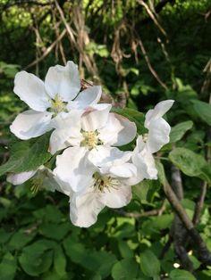 Omena kukkii