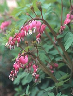 Old Fashioned Bleeding Heart for sale buy Dicentra spectabilis
