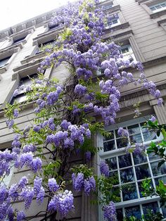 Every building in the world should have a wisteria growing up it ~