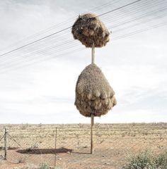 Sociable Weaver, é um pássaro nativo da África do Sul, Namíbia e Botswana. Eles são capazes de tecer enormes ninhos feitos de pedaços de pau e capim, com capacidade de hospedar centenas de aves. Esses ninhos permitem que os pássaros fiquem protegidos das temperaturas frias da noite.