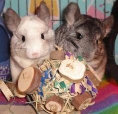 Chinchilla toys, treats, and cage accessories!