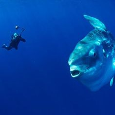 Damn that's a big fish!    Amazing marine photographer Richard Herrmann shot this picture in open sea off San Diego.     The ocean sunfish Mola Mola is one of the largest fish in the world.