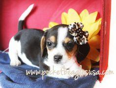 www.pocketbeagles... Small Pocket Size beagles Tiny Beagles, Beagles, Cute Puppy, Texas Puppy