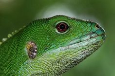 He might be green, but he's no Kermit the Frog. Meet the Fiji banded iguana!