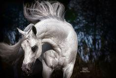 Gray Arabian Stallion