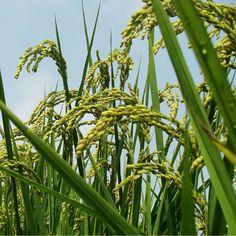 Viable Koshihikari Rice Plant Seeds for Sushi Unusual Flowers, Rare Flowers, Logo Rice, Rice Plant, Black Rice, Exotic Plants, Planting Seeds, Fields, Organic