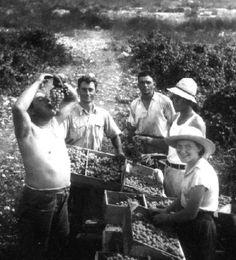 Early 20th century, grape growing in Old Bat Shlomo