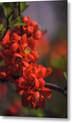 Passionate Red Of Chinese Quince 9 Metal Print by Jenny Rainbow. All metal prints are professionally printed, packaged, and shipped within 3 - 4 business days and delivered ready-to-hang on your wall. Choose from multiple sizes and mounting options. Art Prints For Home, Fine Art Prints, Dusk Sky, Got Print, Any Images, Art Techniques, Fine Art Photography, Red Color, Fine Art America