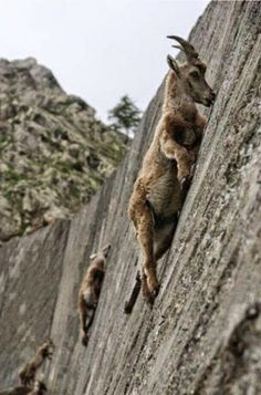 Alpine Ibexes climb nearly 90 degree angle just to lick the salt deposits off of the mountain sides...