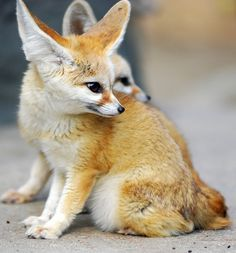 fennec fox or fennec: small nocturnal fox. It's distinctive feature,it's unusually large ears serve to dissipate heat.