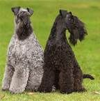 kerry blue terriers :o)