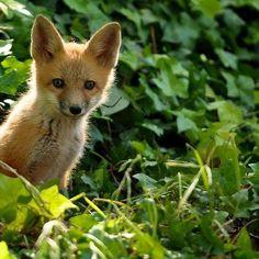 Red Fox Cub by Matt MacMillan