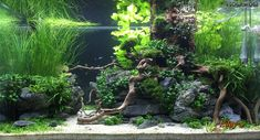 "Roca De Plata - German aquascaper Eddy based his latest aquarium, Roca De Plata (""Silver Rock"") on the concept of a gnarly flooded tree base rooted over grey slate stones. Aquarium Garden, Aquarium Landscape, Live Aquarium, Nature Aquarium, Aquarium Fish Tank, Planted Aquarium, Aquarium Aquascape, Fish Tank Terrarium, Water Terrarium"