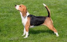 Картинки по запросу beagle