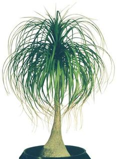 Ponytail Palm Beaucarnea recurvata from Angel Plants Big Indoor Plants, Indoor Palms, Air Plants, Fresh Flower Delivery, Same Day Flower Delivery, Palm Plant, Trees To Plant, Holland Flowers, Gardens