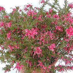 Grevillea rosmarinifolia 'Jenkinsii'