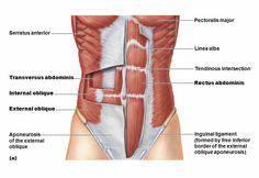 And welcome to part two of the Pilates For Beginners series. If you're just joining us you'll want to check out: Intro: Pilates. Abdominal Muscles Anatomy, Muscle Anatomy, Stomach Muscles, Core Muscles, Flat Stomach, Flat Tummy, Stomach Vacuum, Flat Abs, Flat Belly
