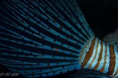 Tail of Pterois miles/ Lionfish = Devil firefish / Rascasse volante Copyright Thierry Coutant