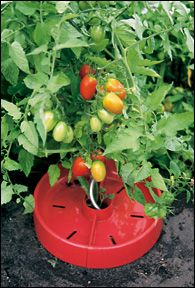 Tomato Craters - Gardening