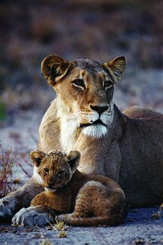 Lion | Flickr - Photo Sharing! Mommy and baby