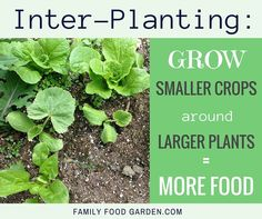 Interplanting and underplanting increase yield in small spaces. Interplanting involves growing smaller crops around your larger crops before When To Plant Vegetables, Planting Vegetables, Growing Vegetables, Vegetable Gardening, Veggies, Fruit Garden, Edible Garden, Lawn And Garden, Garden Tips