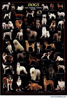 todas las razas de perros - Resultados de Yahoo España en la búsqueda de imágenes