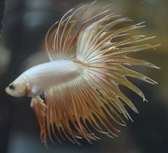 golden-yellow-orange-doubleray-crowntail