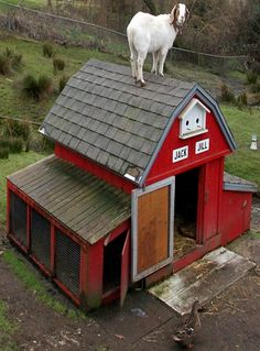 Goat On Top Of Goat Barn...