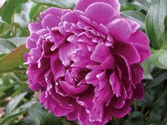 Chinese herbaceous peony- 4-5 eye size. Classic form and color, great for cutting and bouquets. Lustrous, fragrant flowers in a bright purple that are sure to be noticed in the garden. Available for fall shipping..  Double flower with good stem strength, 6-7 inches in diameter. Often multiple blooms occur on the same stem The spicy, sweet fragrance of this gorgeous Chinese tree peony makes it a must for any garden.